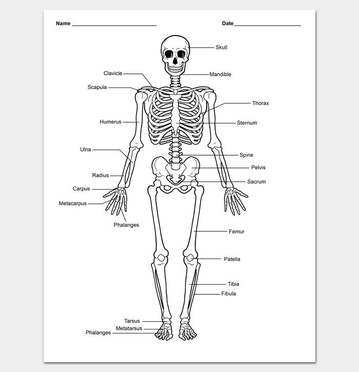 Skeleton Body Outline Template